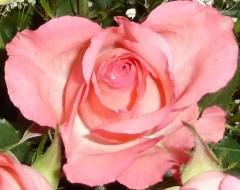 saint Valentin, grippe, roses, romantisme, tendresse