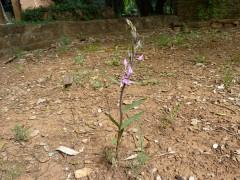 orchidées sauvages, jardin, nature, printemps