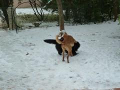 neige, chiens, jeux dans la neige, hiver