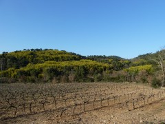 Mimosa, les Maures, nature, provence